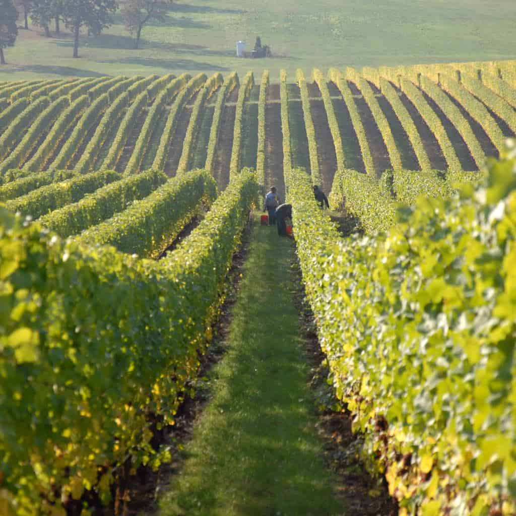 Vineyard Chateau les Merles Dordogne